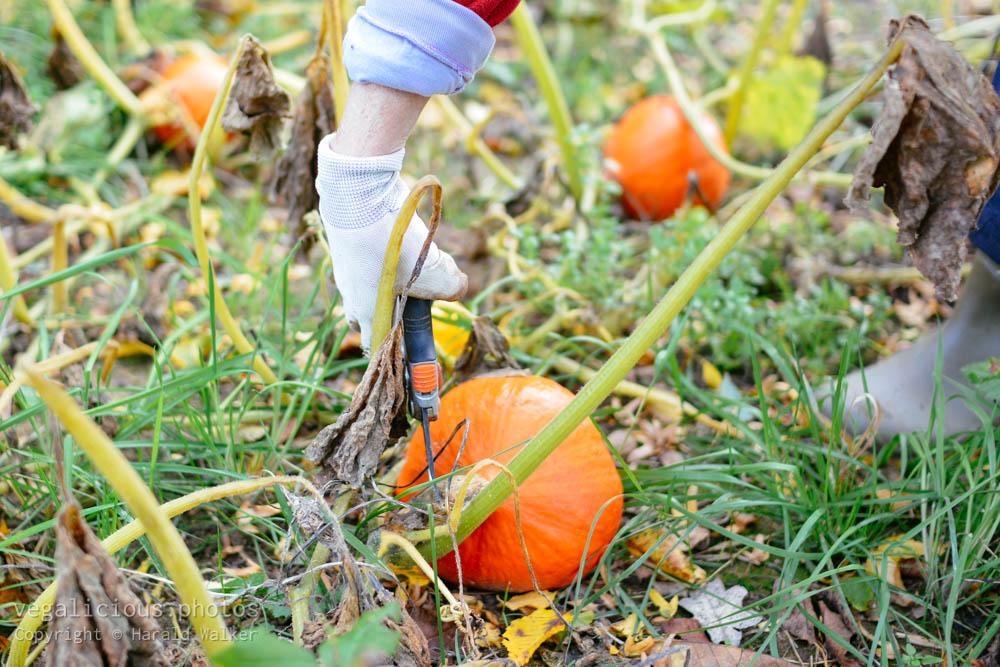 Stock photo of Harvesting squash