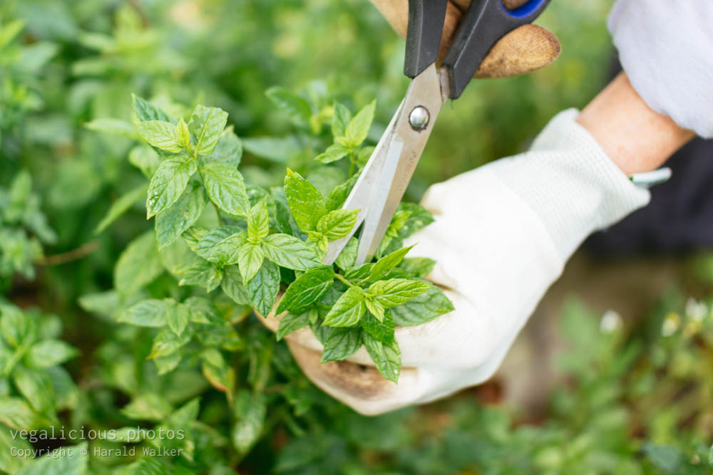 Stock photo of Harvesting peppermint