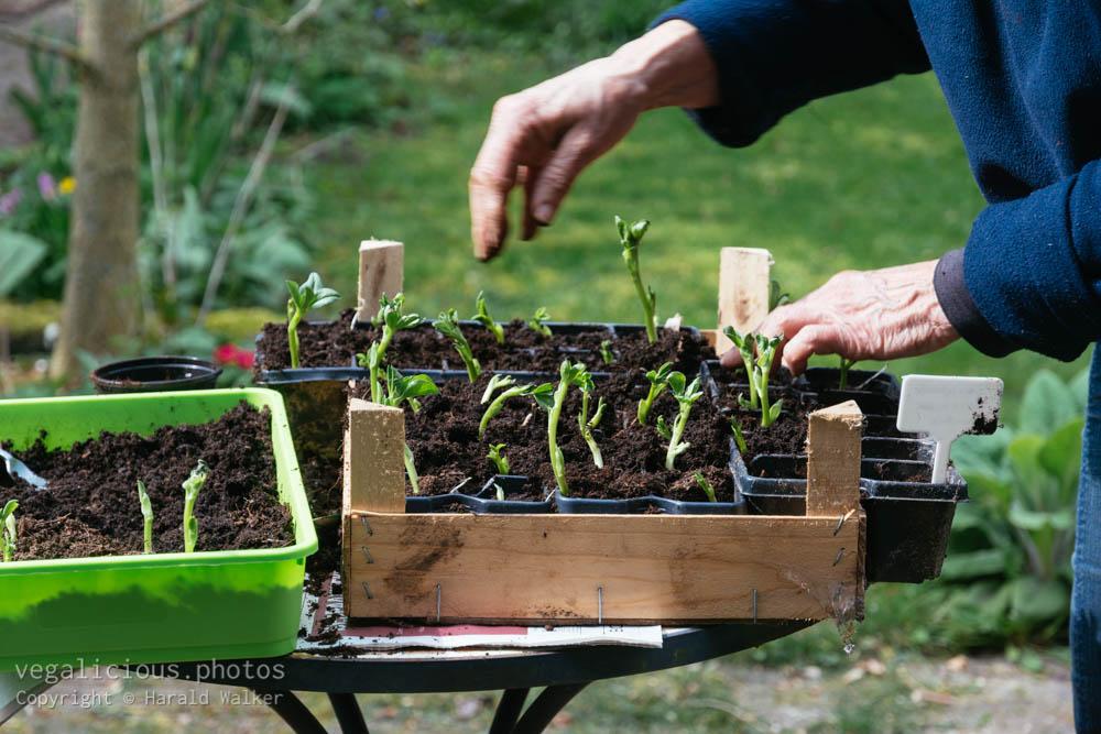 Stock photo of Transplanting broad bean seedlings
