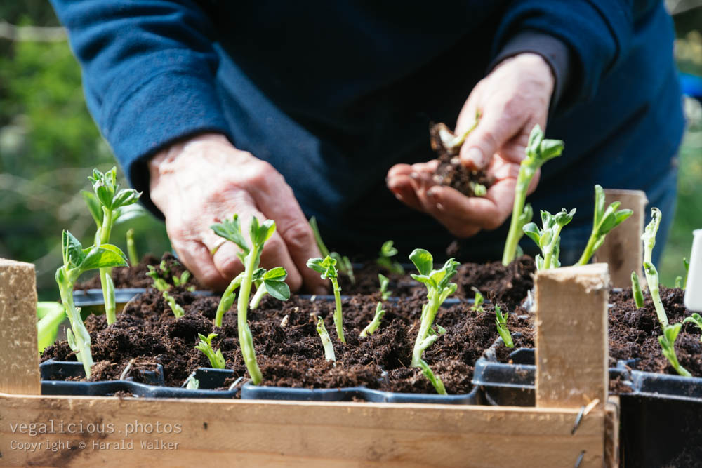 Stock photo of Transplanting broad bean seedlings