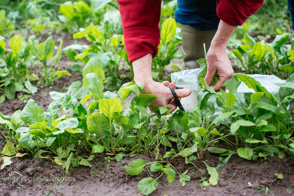 Stock photo of Woman harvesting spinach leaves in vegetable garden