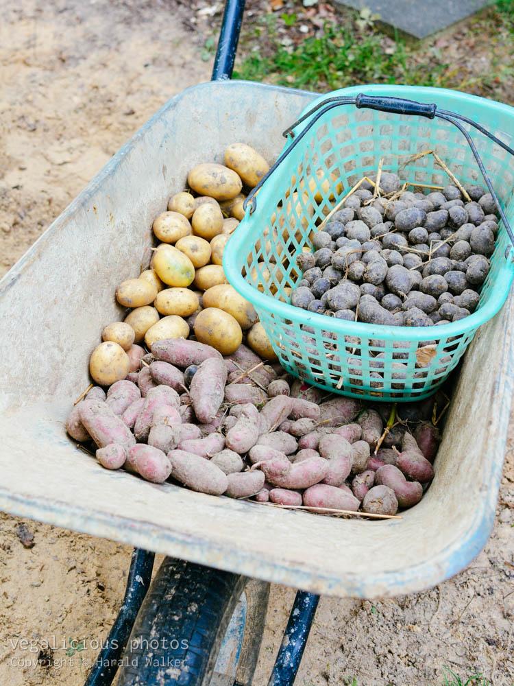 Stock photo of Potato harvest