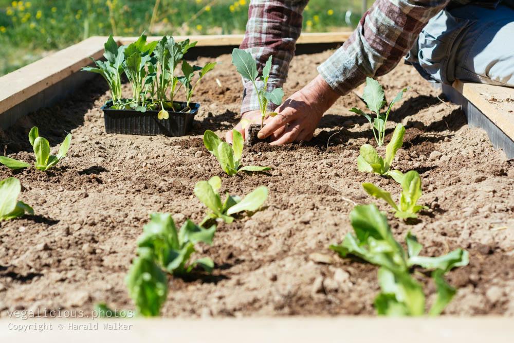 Stock photo of Planting kohlrabi