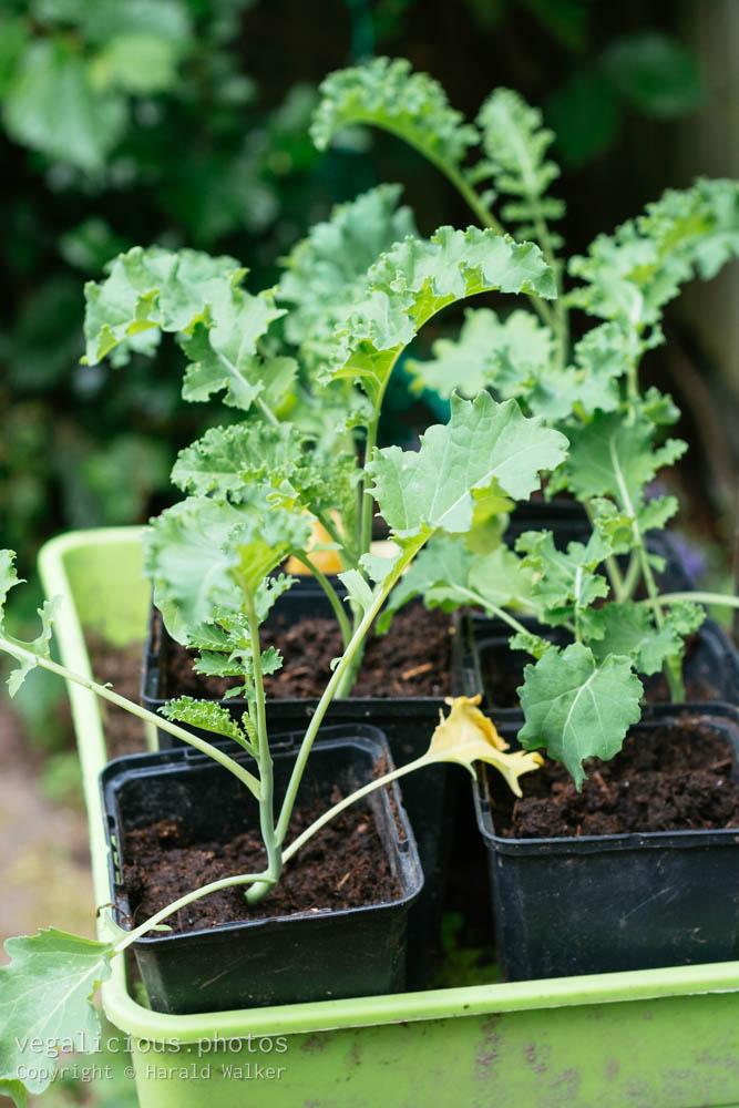 Stock photo of Kale seedlings