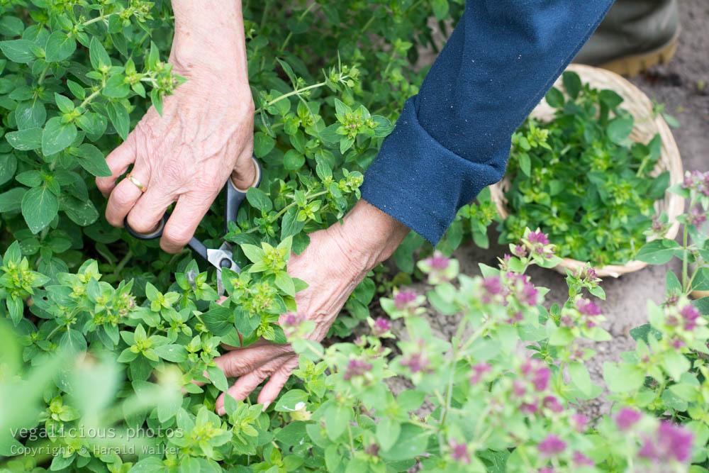 Stock photo of Harvesting oregano