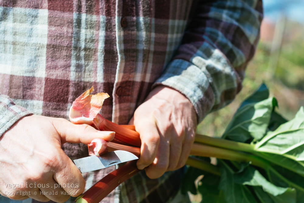 Stock photo of Harvesting rhubarb