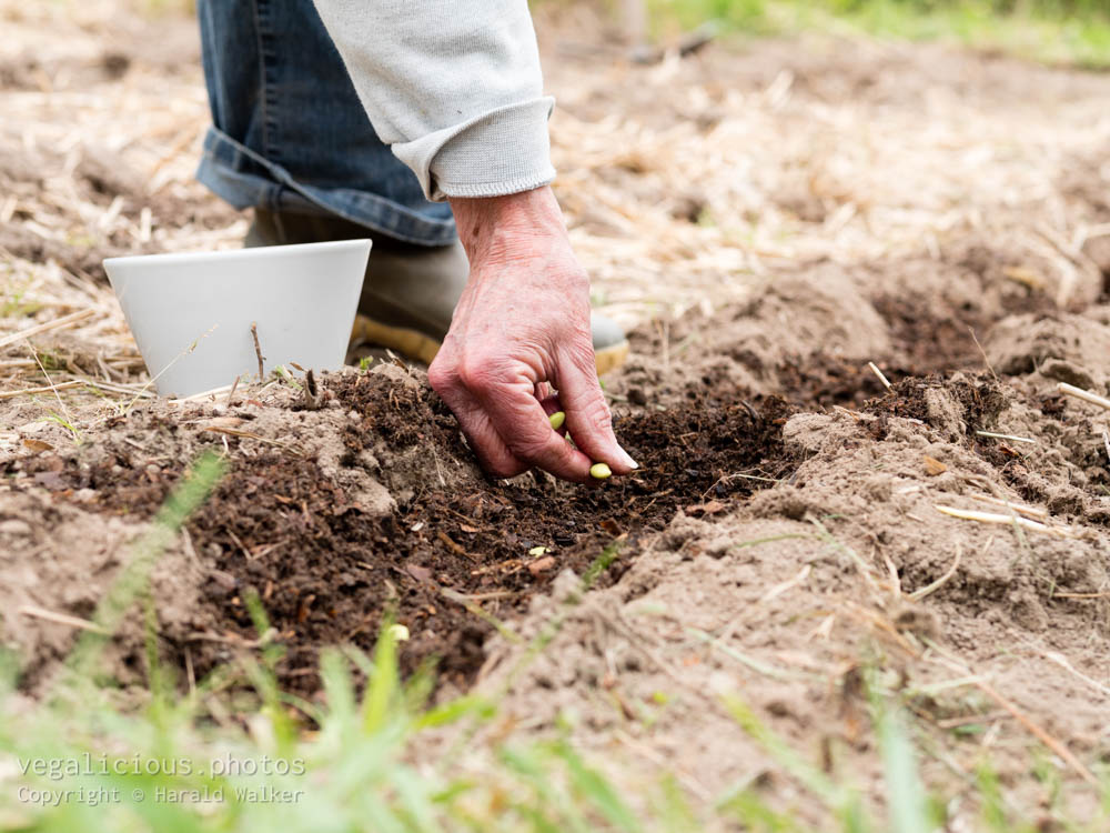 Stock photo of Sowing soybeans