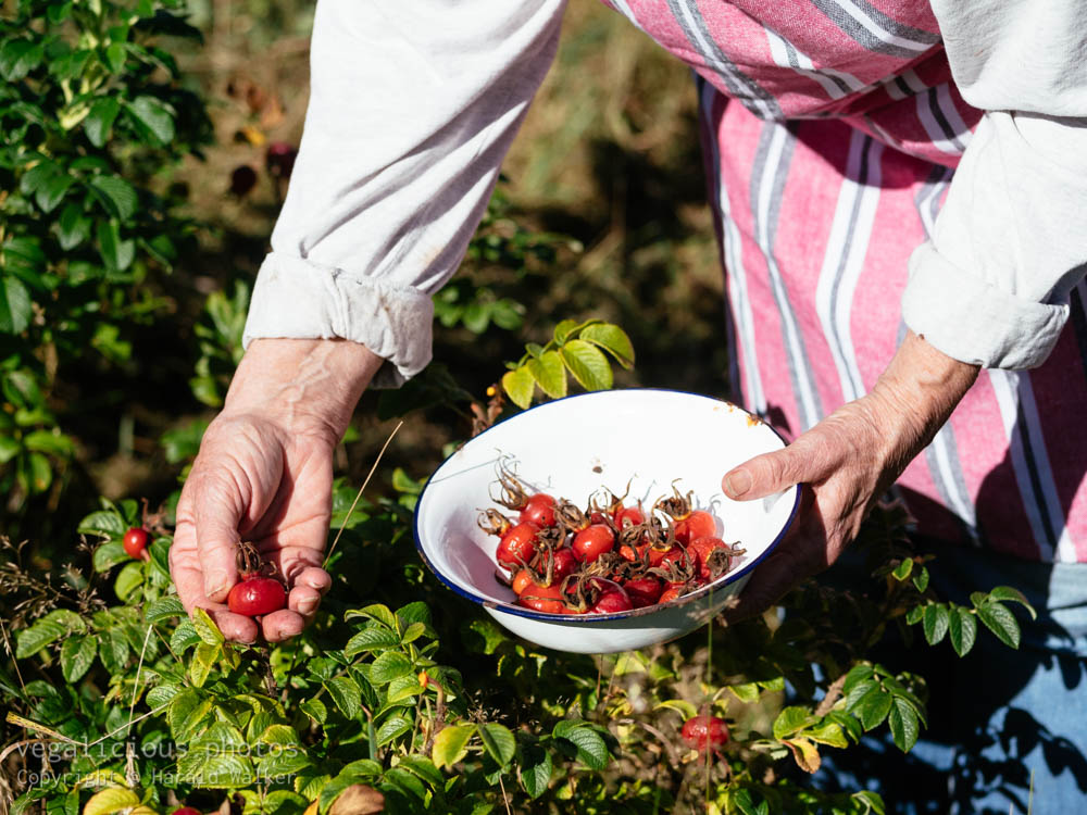 Stock photo of Harvesting rose hips