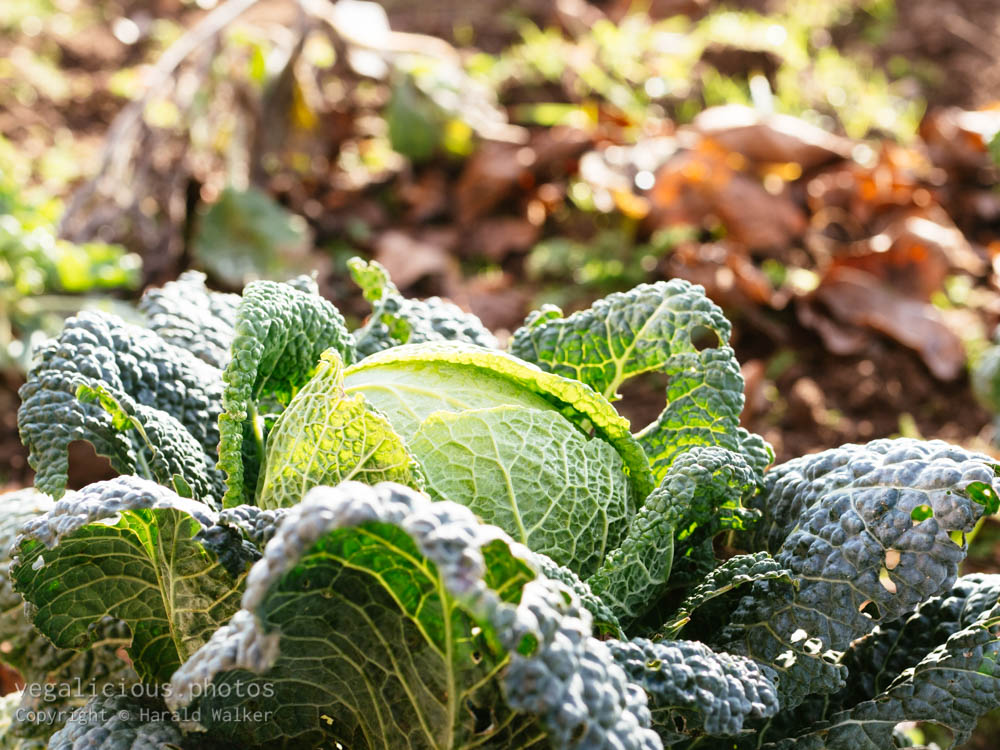 Stock photo of Savoy cabbage