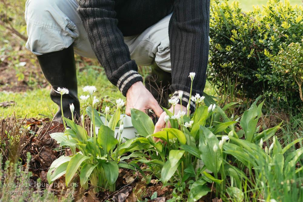 Stock photo of Harvesting wild garlic