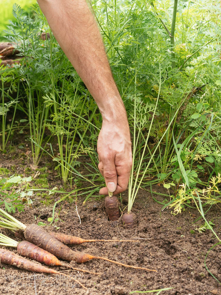 Stock photo of Gardener harvesting purple carrots