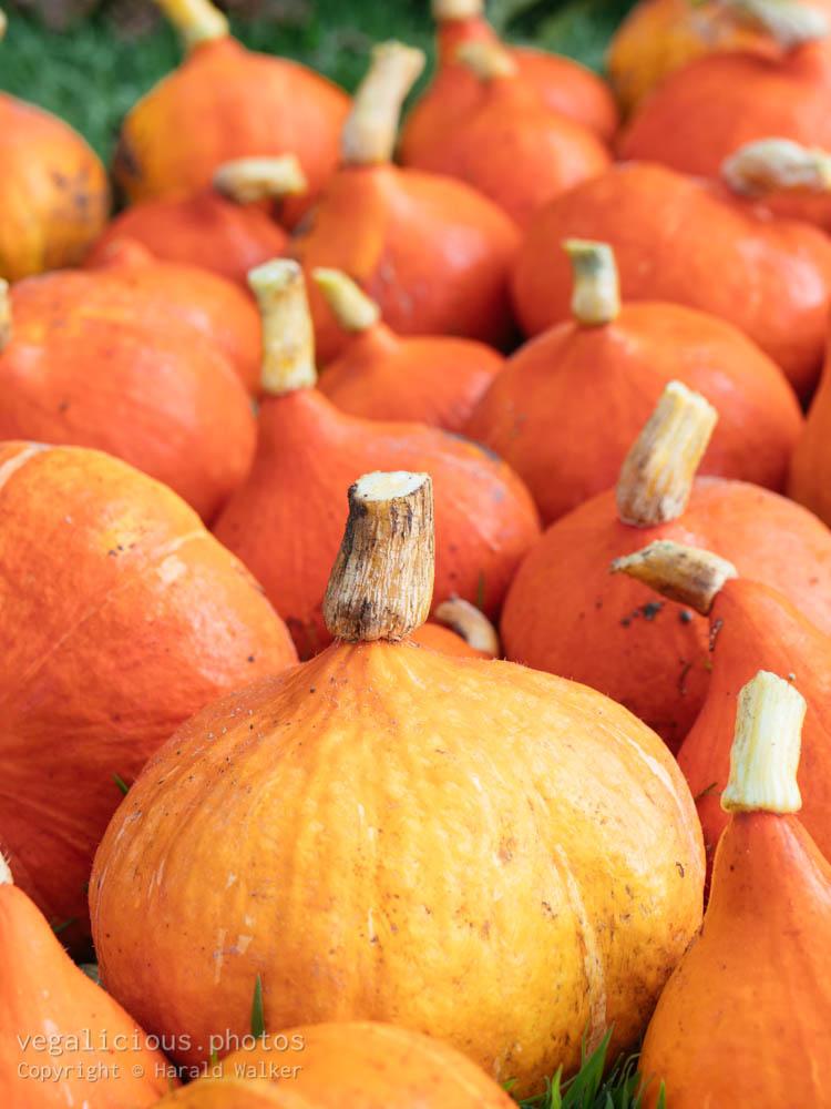 Stock photo of Red kuri squash harvest