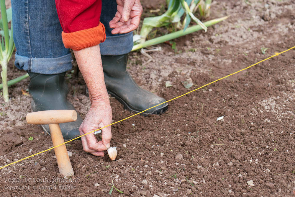 Stock photo of Planting garlic in autumn