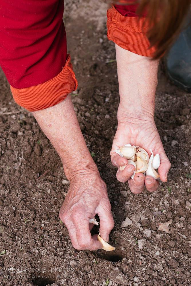 Stock photo of Planting garlic in autumn