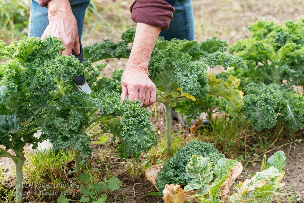 Stock photo of Harvesting kale