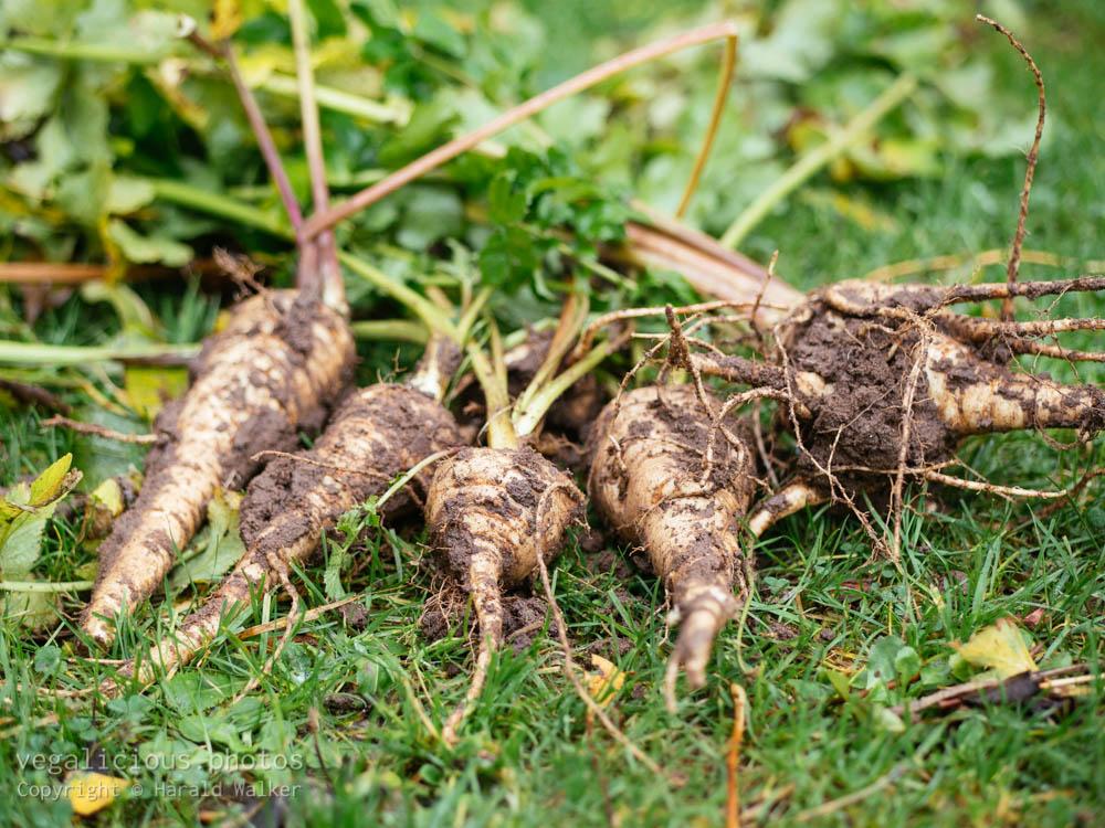 Stock photo of Fresh parsnip