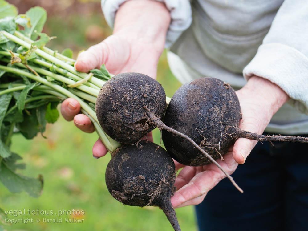 Stock photo of Fresh black radishes