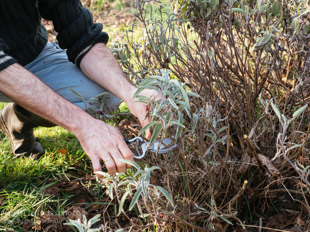 Stock photo of Pruning sage plants