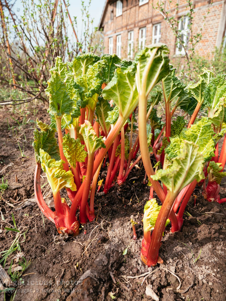 Stock photo of Forced rhubarb