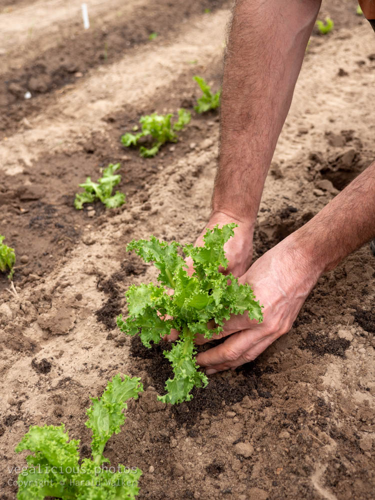 Stock photo of Planting curly endive lettuce