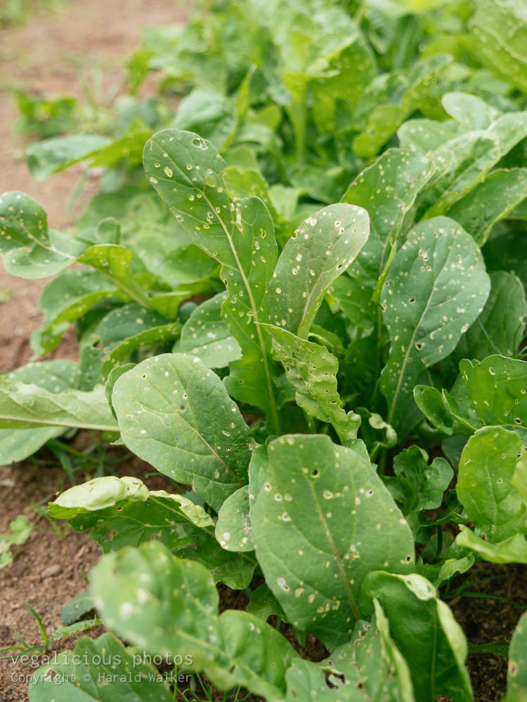 Stock photo of Arugula plants with flea beetle damage