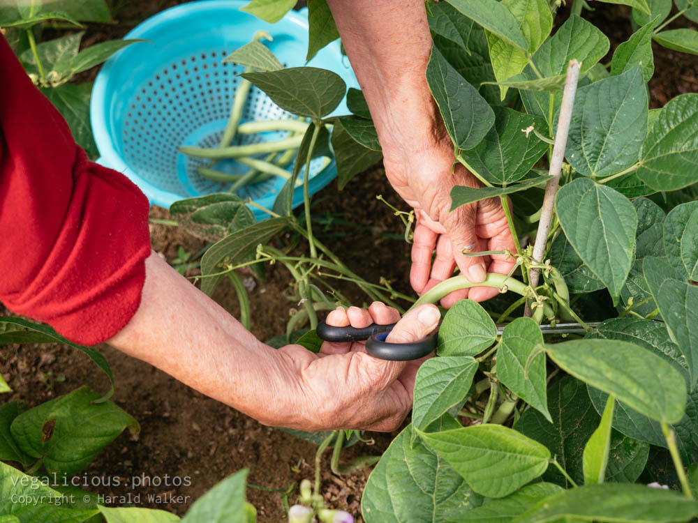 Stock photo of Harvesting green beansgarden.