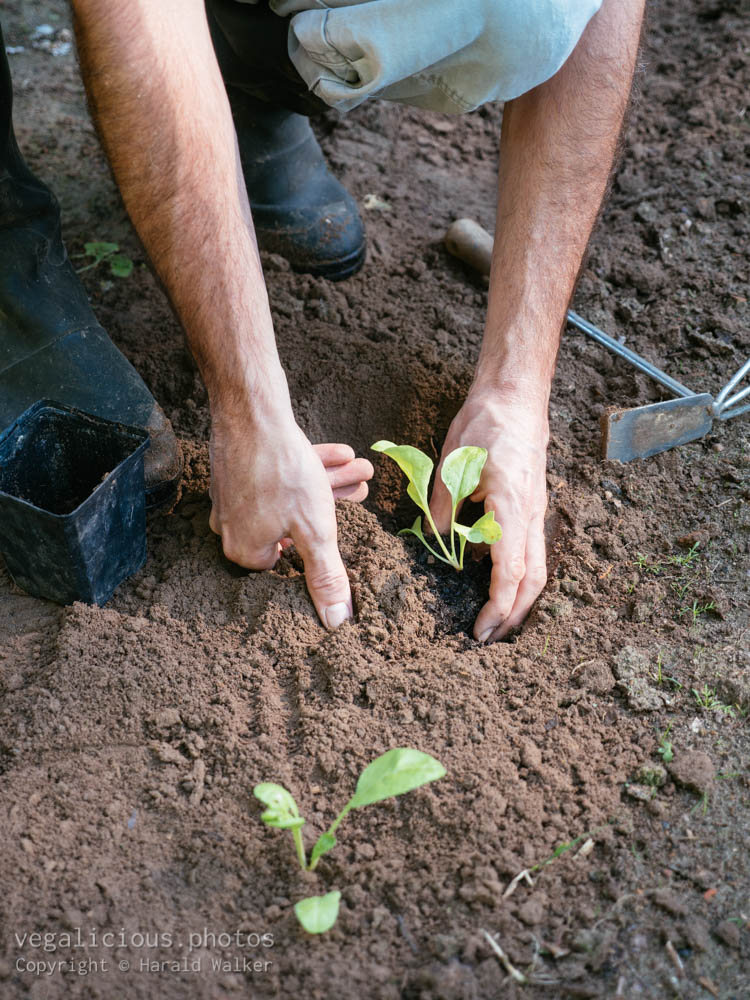 Stock photo of Gardener transplanting Beta vulgaris (var. Lucullus) seedlings