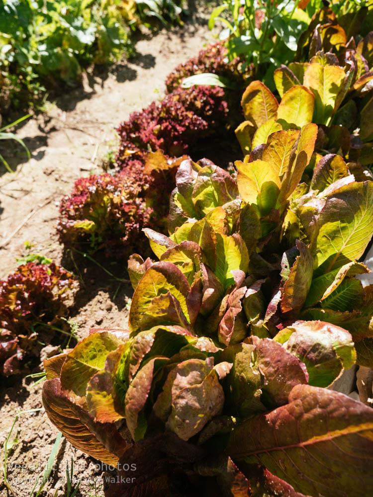 Stock photo of Lollo rosso and Red Cimmaron Romaine lettuce