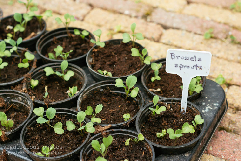Stock photo of Brussels sprout seedlings