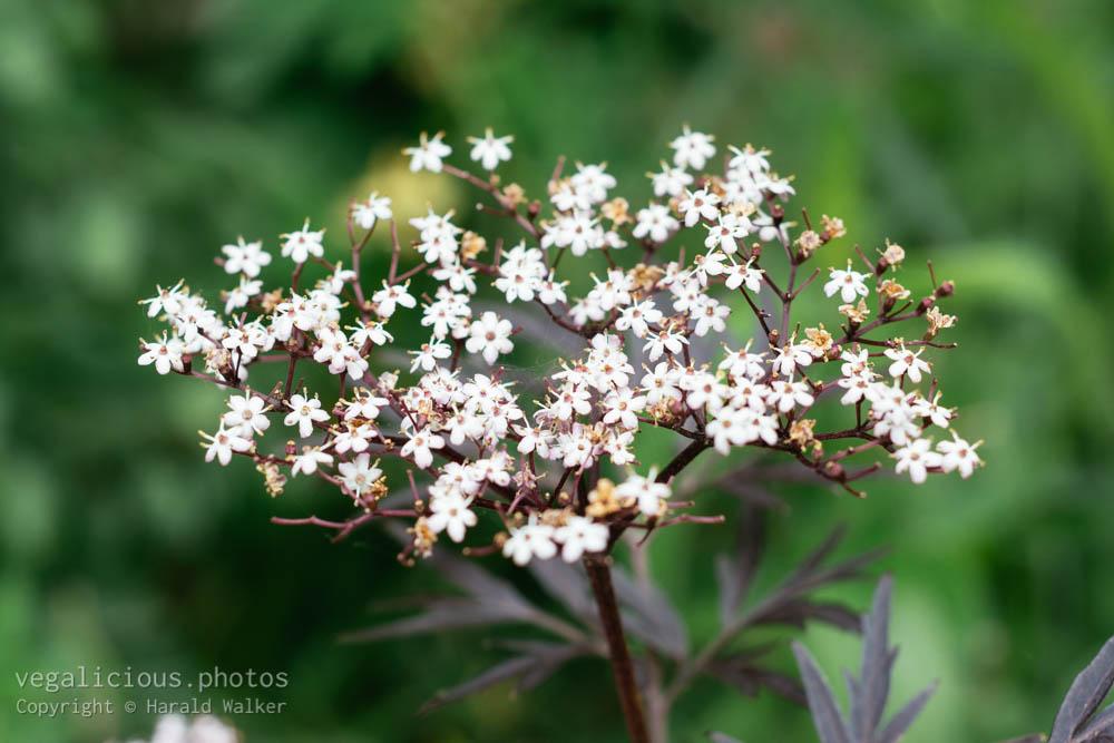 Stock photo of Elderflowers