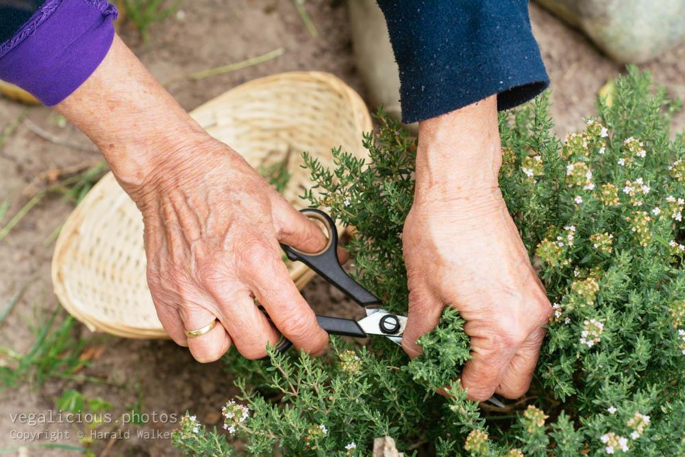 Stock photo of Gardener harvesting thyme