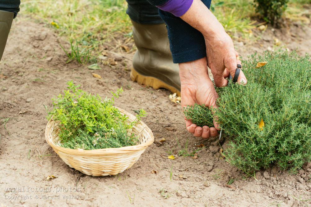 Stock photo of Gardener harvesting thyme