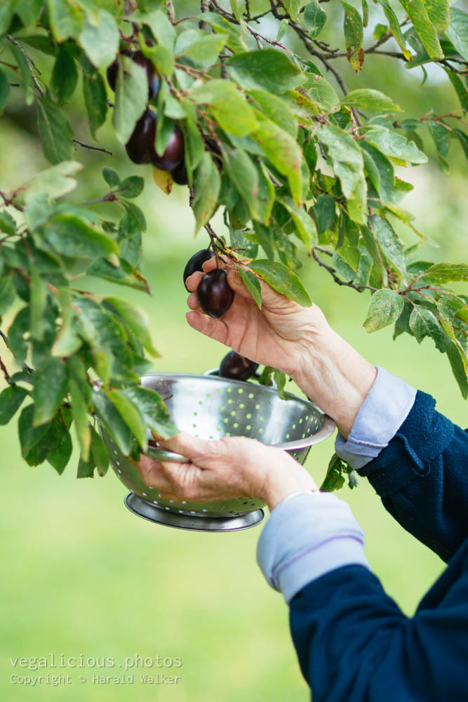 Stock photo of Harvesting plums