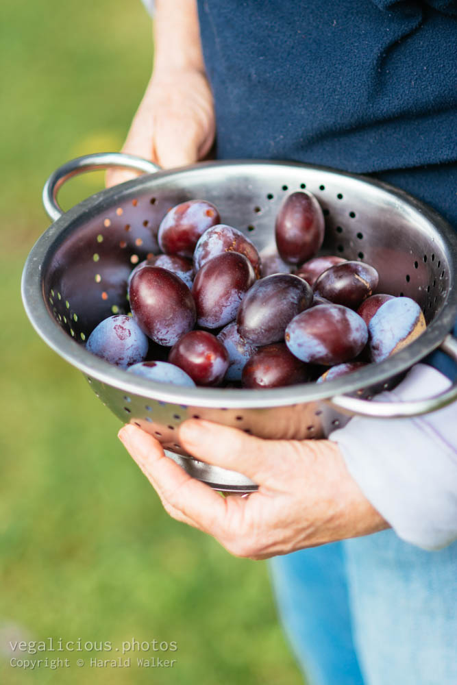 Stock photo of Harvested plums