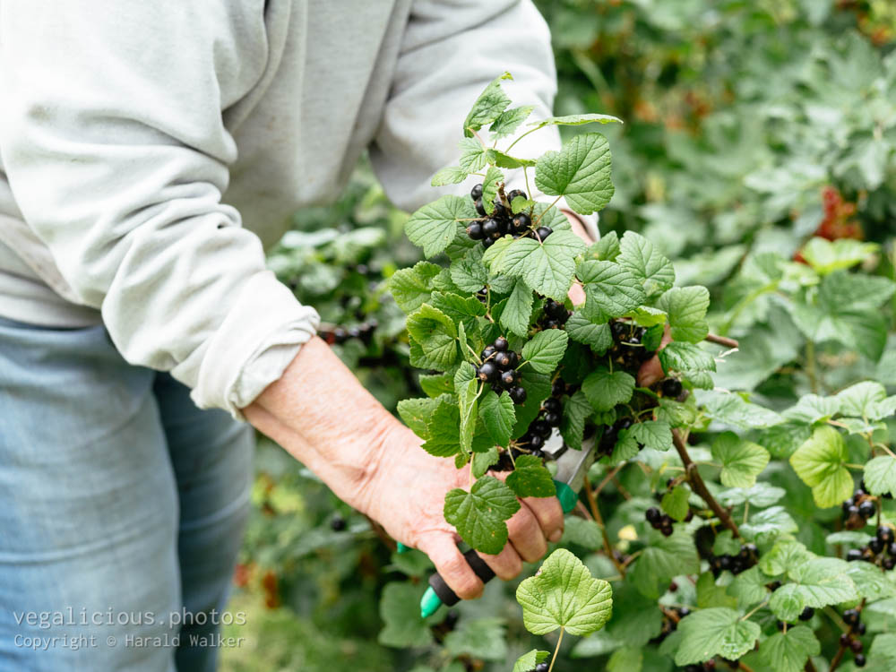 Stock photo of Woman harvesting blackcurrants