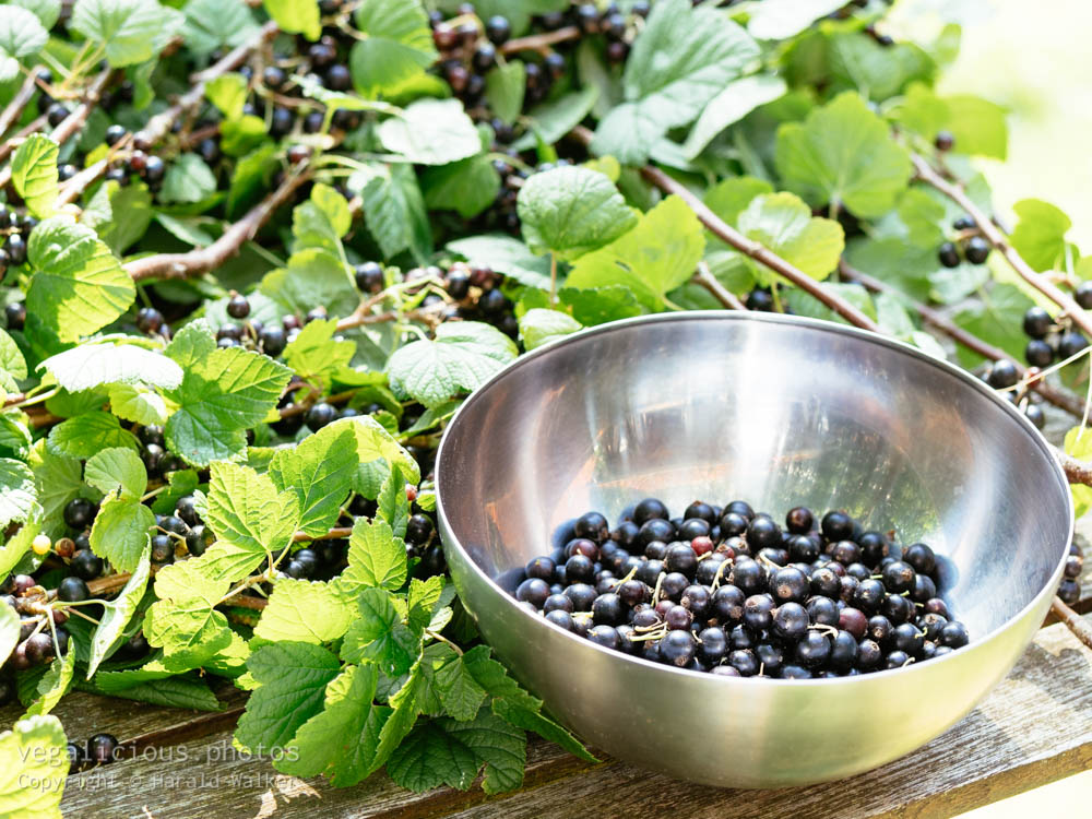 Stock photo of Blackcurrant harvest