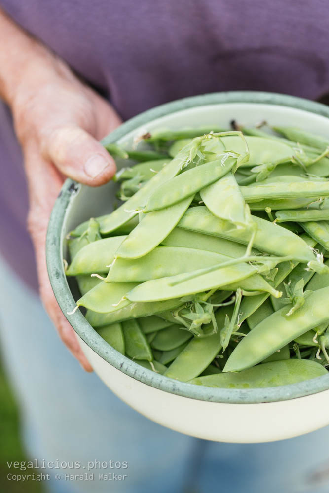Stock photo of Fresh sugar snap peas