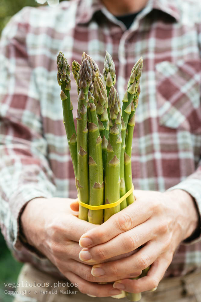 Stock photo of Bunch of Green asparagus