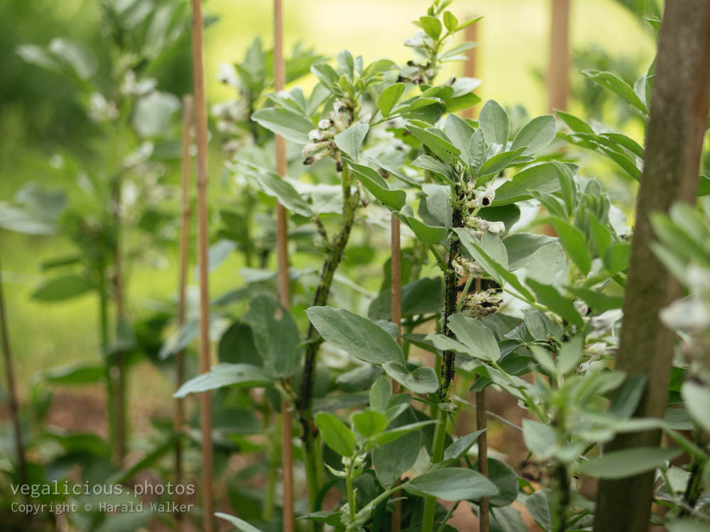 Stock photo of Aphids on fava beans