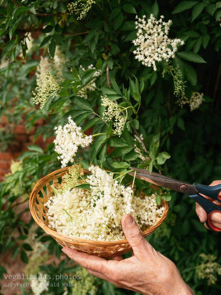 Stock photo of Collecting elderflowers