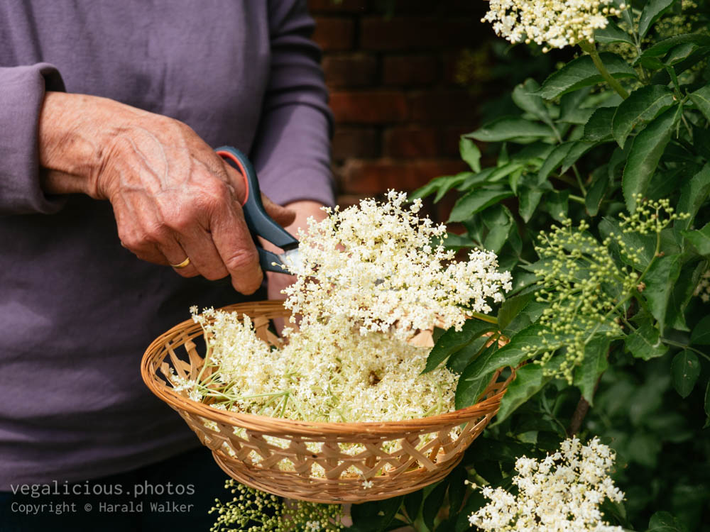 Stock photo of Collecting elderflowers
