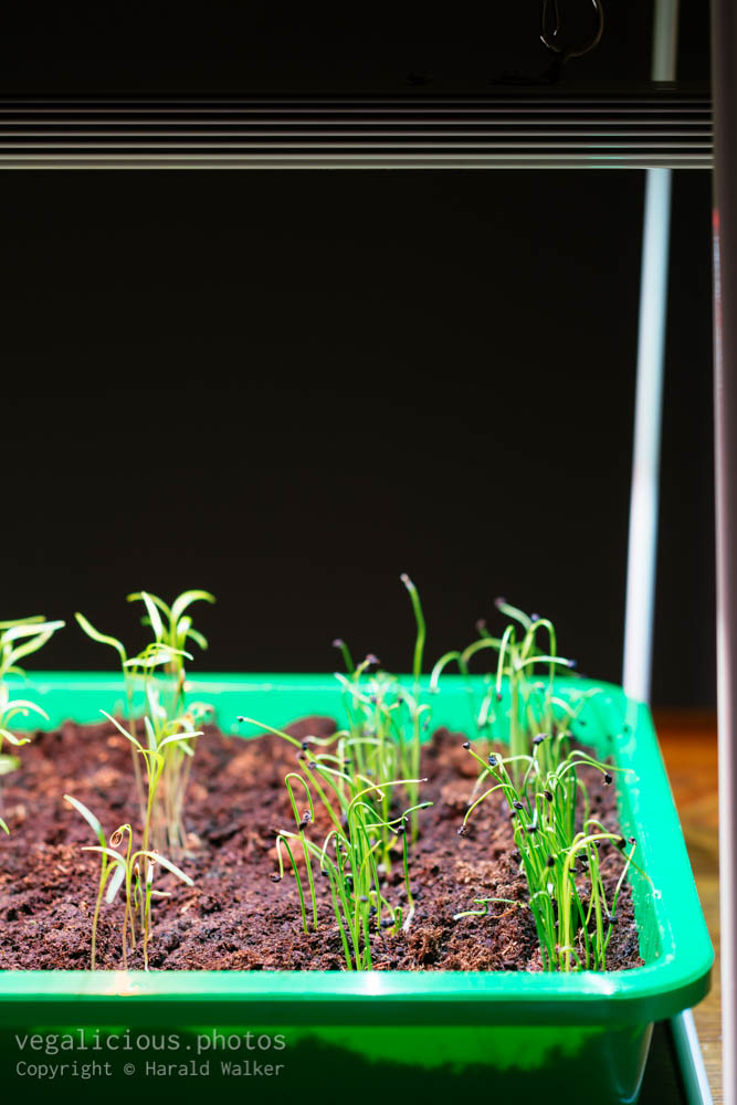 Stock photo of Dill and leek seedlings