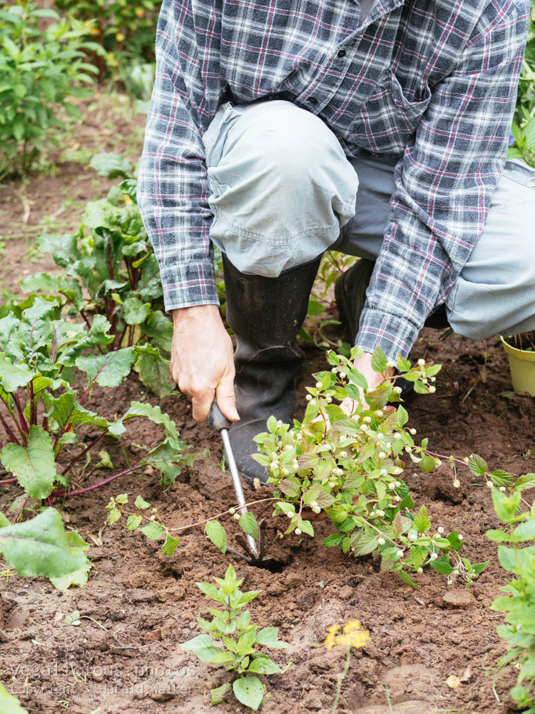 Stock photo of Planting Aztec sweet herb
