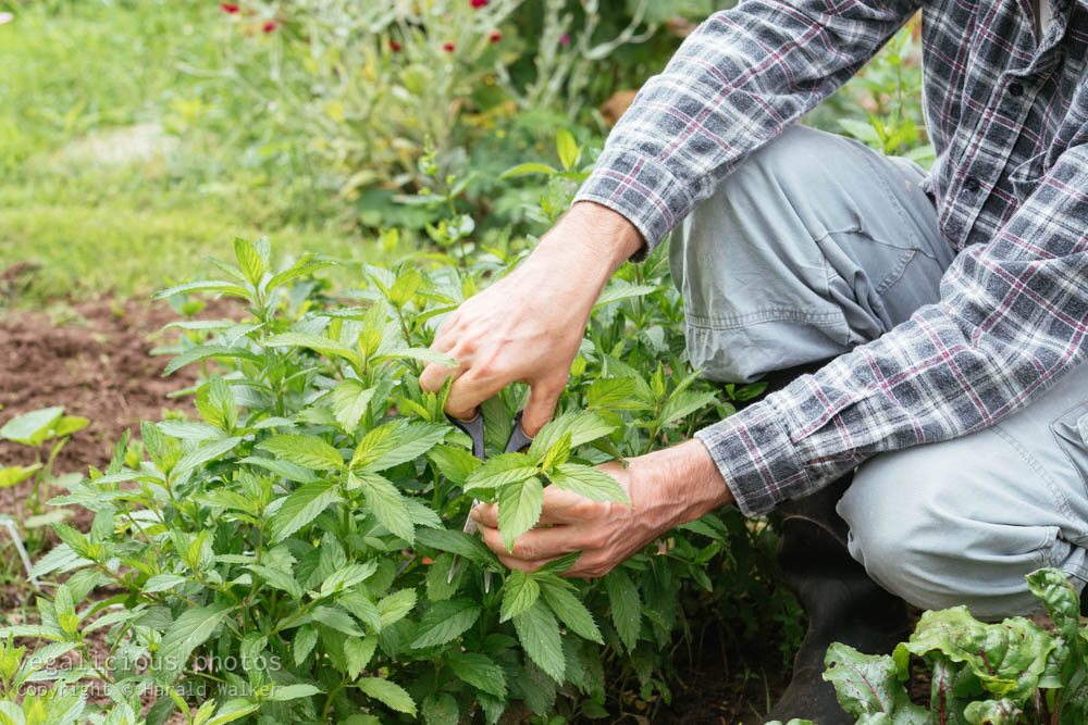 Stock photo of Harvesting mint