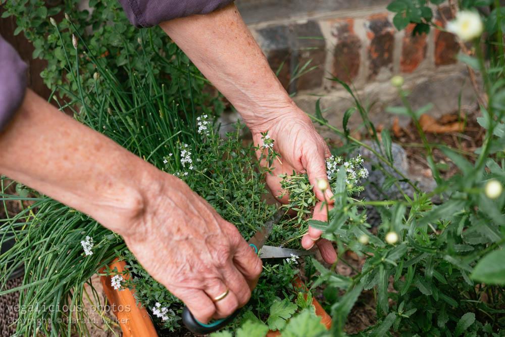 Stock photo of Harvesting fresh thyme