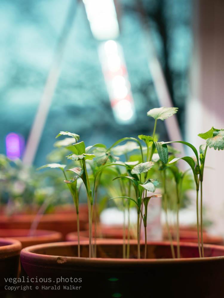 Stock photo of Growing Corriander Indoors