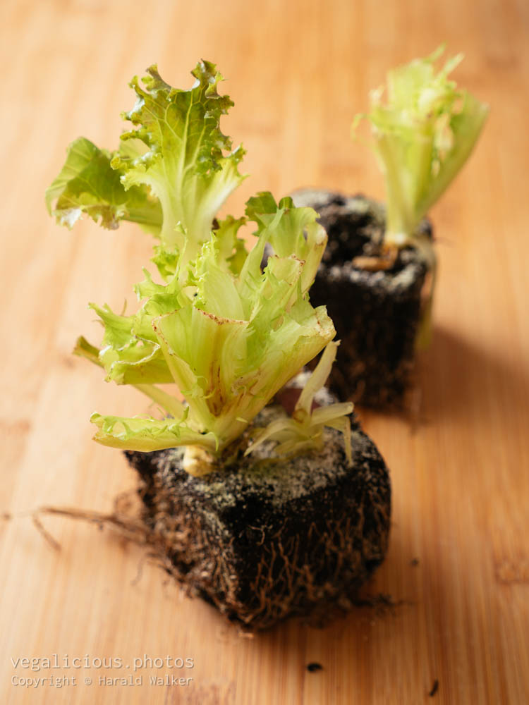 Stock photo of Lettuce scraps
