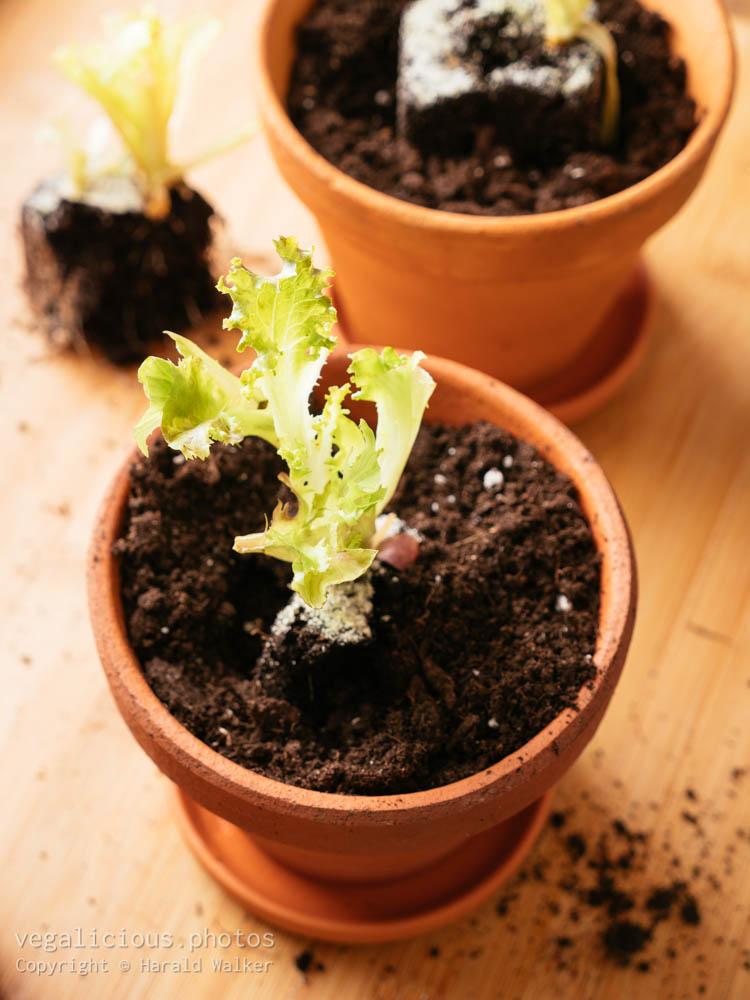 Stock photo of Lettuce scraps