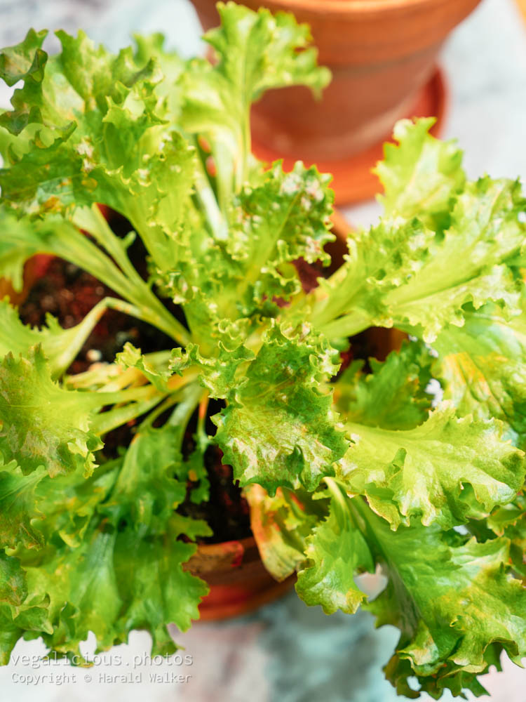 Stock photo of Lettuce from scraps