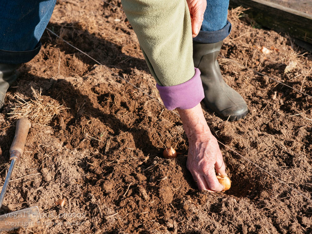 Stock photo of Planting onions
